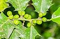 Ilex aquifolium in Aveyron (4).jpg