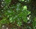 Ilex aquifolium in Jardin botanique de la Charme 01.jpg