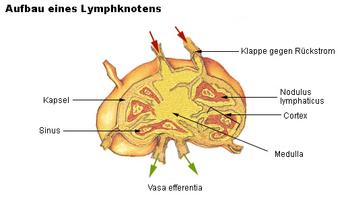Verschiebbar lymphknoten bitte helft