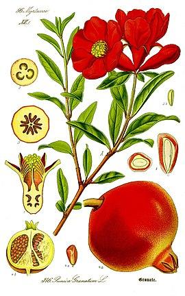 Ilustración de Punica granatum (Otto Wilhelm Thomé: Flora von Deutschland, Österreich und der Schweiz, 1885)
