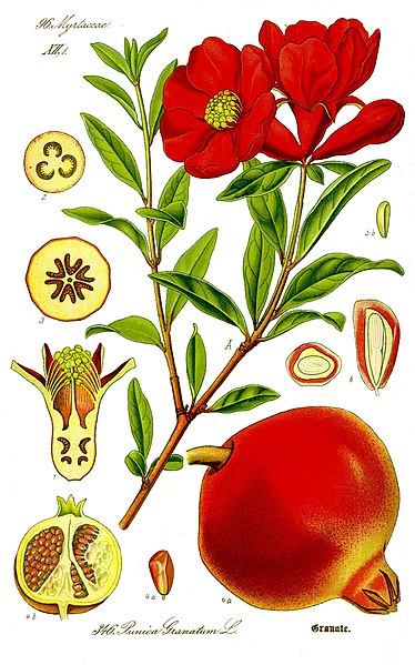 Archivo:Illustration Punica granatum1.jpg