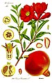 Illustration Punica granatum1.jpg