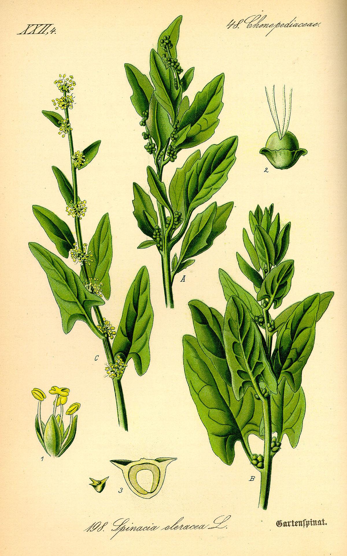 Spinacia oleracea - Wikipedia, la enciclopedia libre