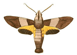 Illustrations of Exotic Entomology Macroglossa Passalus.jpg