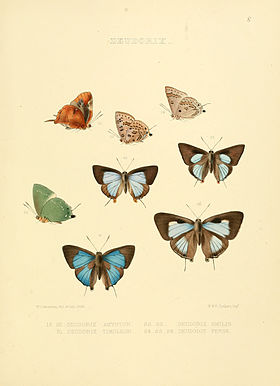 Illustrations of diurnal Lepidoptera 8.jpg