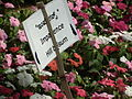 Impatiens hill balsum from lalbagh 2029.JPG