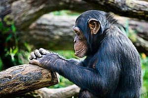 Outline of thought - A chimpanzee thinking.