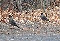 Indian Blackbird Turdus simillimus by Dr. Raju Kasambe DSCN0094 (4).jpg