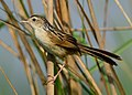 Indian Grassbird Wiki Loves Birds Nepal (cropped).jpg