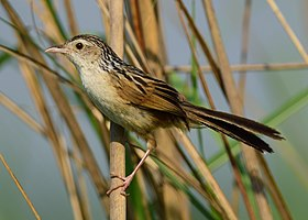Indian Grassbird Wiki Loves Birds Nepal (cropped).jpg