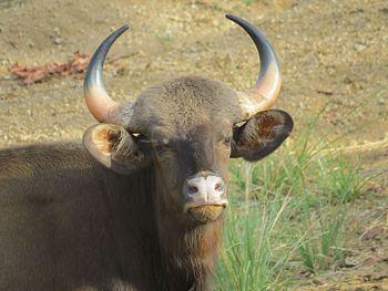 Indian gaur tadoba.jpg