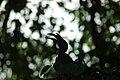 Indian grey hornbill (18193659969).jpg