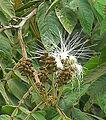 Inga Vera, flower of the Guabo tree (10108387095).jpg