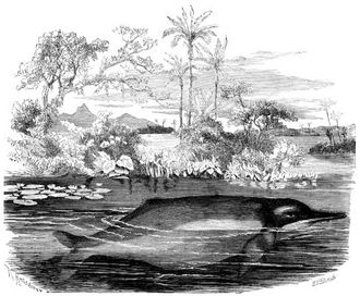 Colombian folklore - 1883 drawing of Boto. The pink dolphin is feared by the indigenous people as a mischievous spirit of water