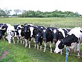 Inquisitive cows near Norbury Mere - geograph.org.uk - 190340.jpg