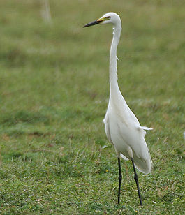 Intermediate Egret (Mesophoyx intermedia) in Hyderabad, AP W IMG 8067.jpg