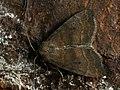 Ipimorpha contusa - Лиственная совка серо-бурая (39321021320).jpg
