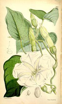 Ipomoea albivenia (Ipomoea gerrardii) Bot. Mag. 93. 5651. 1867