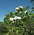 Ipomoea pauciflora, (10751768124).jpg