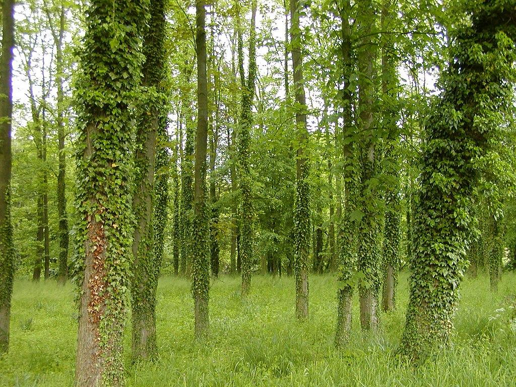Brečtan popínavý na kmeňoch stromov