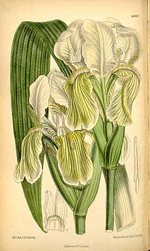 8f1350fa324b09 Painted illustration of Iris kashmiriana Baker (called Iris bartonii  Foster, later recognised as a synonym) for Curtis's Botanical Magazine, vol.