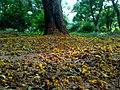 JNU Fallen Yellow Flowers.jpg