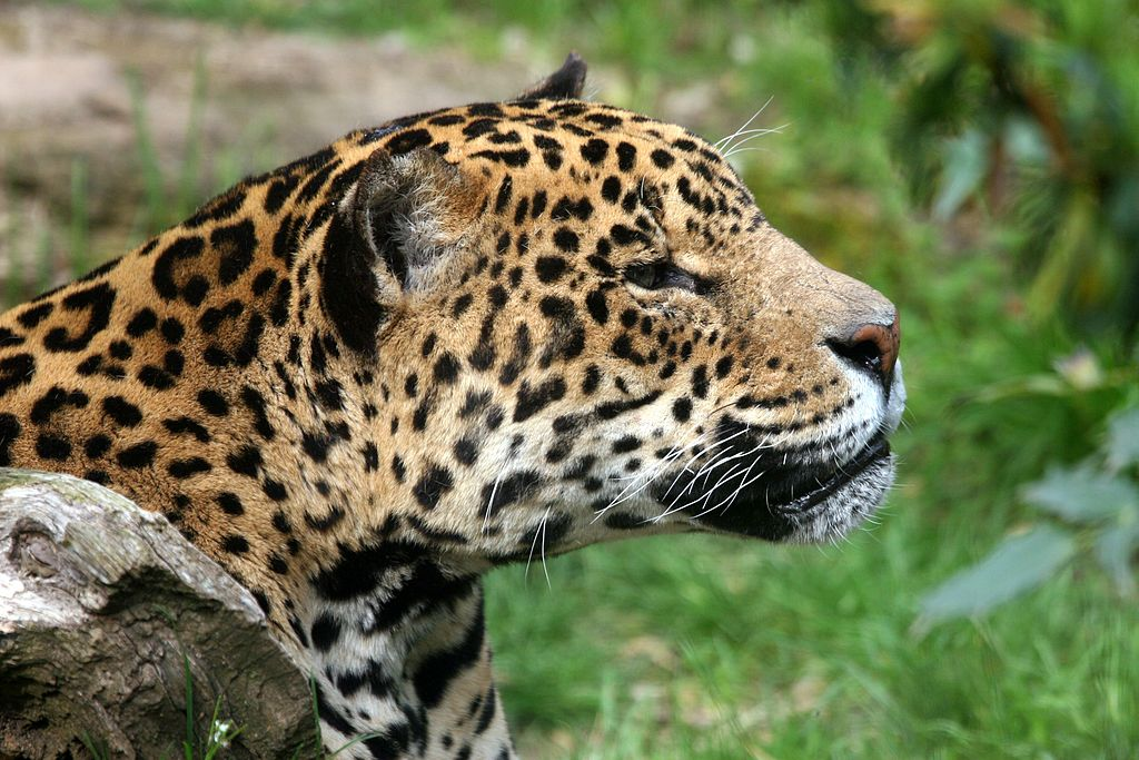 Jaguar Amneville.JPG