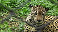 Jaguar from Nehru Zoological park Hyderabad 4272.JPG
