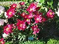 Jardin botanique Dijon 032.jpg