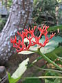 Jatropha podagrica2.jpg