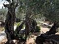 Jerusalem Garden of Gethsemane - Mount of Olives (6036457686).jpg