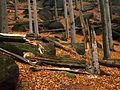 Jizerskohorské bučiny - mrtvé dřevo.JPG