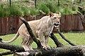 Jonge leeuw.JPG
