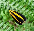 Josia gigantea^ . Notodontidae - Flickr - gailhampshire.jpg