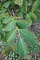 Juglans regia (English Walnut, Persian Walnut) 692-52*B (37274339280).jpg