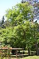 Juglans regia - City Park in Lučenec (3).jpg