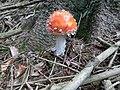 Junger roter Fliegenpilz.jpg