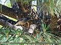Jungle Myna (Acridotheres fuscus) (42946970475).jpg
