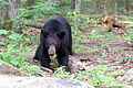 Juvenile American black bear at Old Rag mountain.jpg