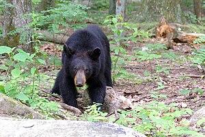 Environment of Virginia - Black bear on Old Rag Mountain