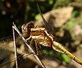 Juvenile Male. Orthetrum Glaucum - Flickr - gailhampshire.jpg