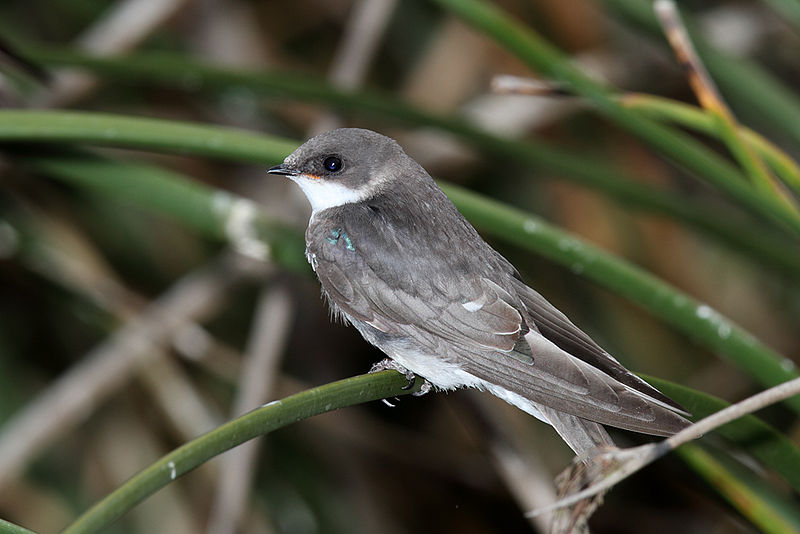 Photograph of a juvenile tree swallow perched atop a plant stem