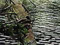 Kaczki na przewróconym drzewie.jpg