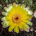 Kaktus IMG 5917.jpg