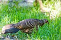 Kalij pheasant (30592016636).jpg