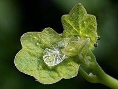 Kapuzinerkresse Blätter Tropfen-20200308-RM-001327.jpg