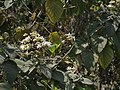 Kattiyaku (in Telugu) (5484905849).jpg
