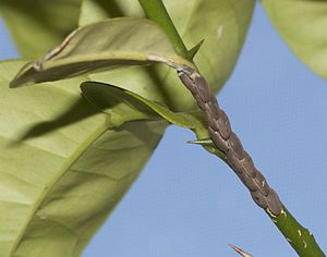 Tettigoniidae - Katydid eggs attached in rows to a plant stem