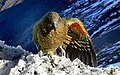 Kea wing colours. (13842965643).jpg