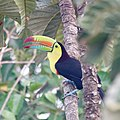 Keel-billed toucan (39812666565).jpg